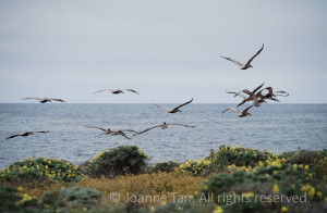 animals – landscape – plants – flowers – Seagulls Flying Off the Coast, North Point, CA