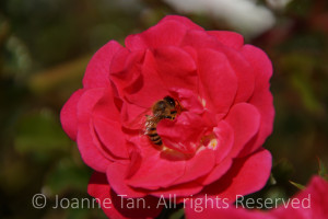 flowers – A Bee Inside a Red Flower