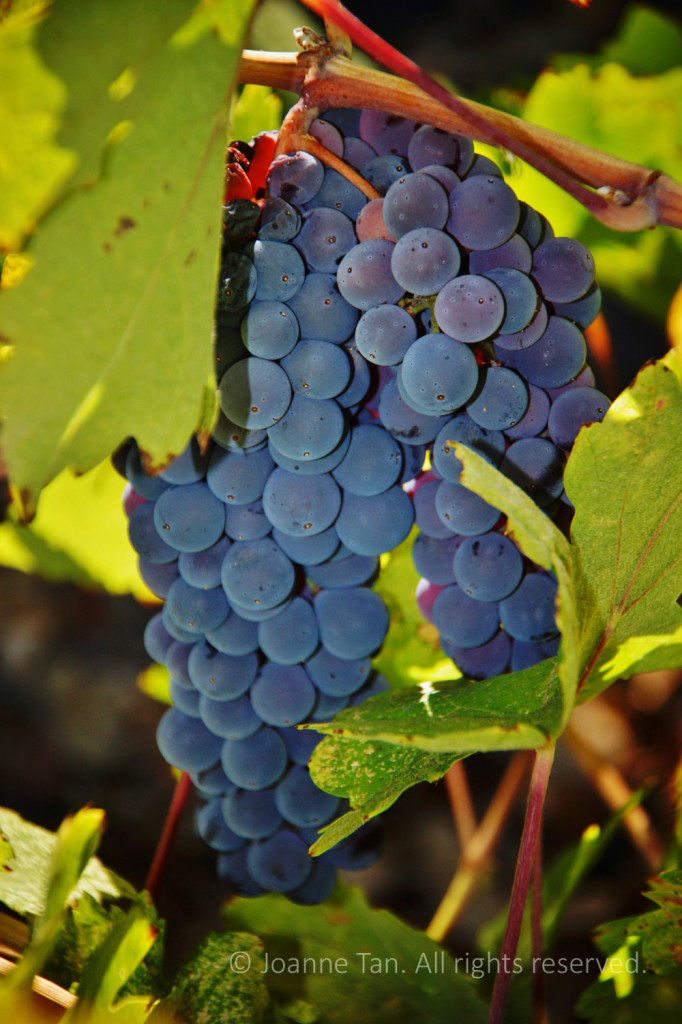 flowers – plants – A Cluster of Grapes on Vine