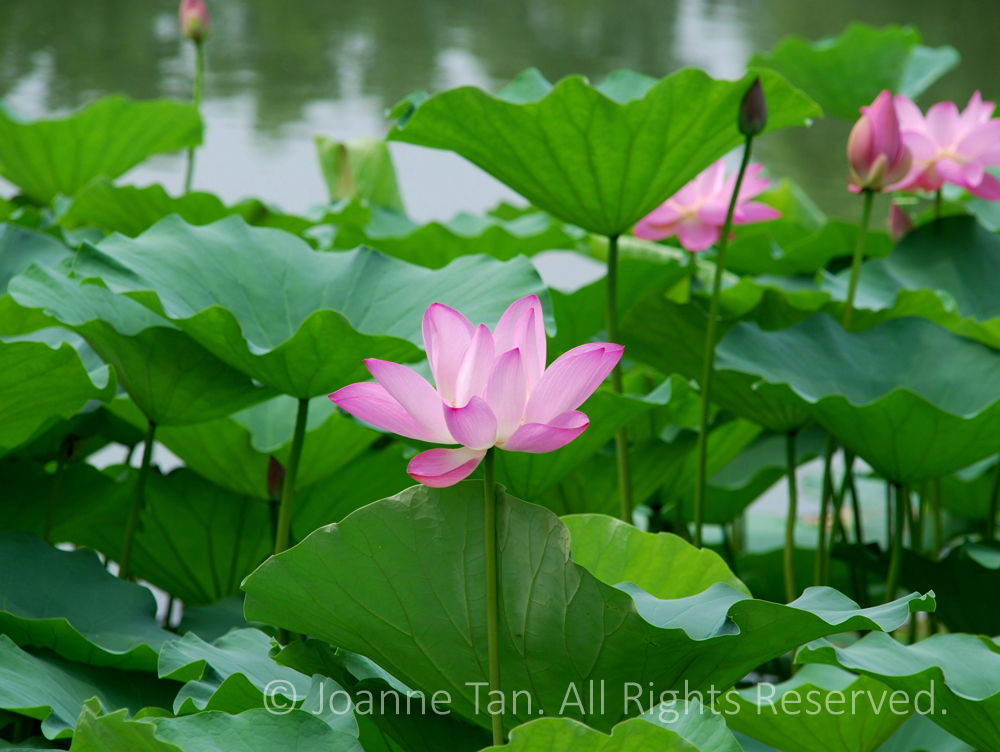 p - flowers - plants -  Pink Lotus Green Leaves in a Pond, Beijing, China