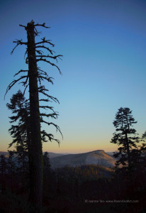 trees – forest – A Dead Pine in Desolation Wilderness