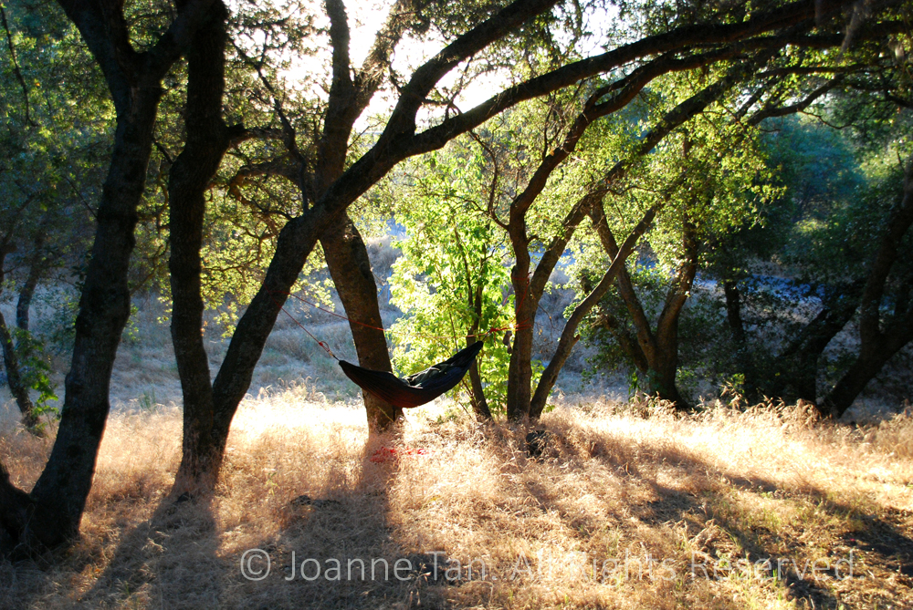 p - trees - forest  - A Hammock on Oaks, Northern California