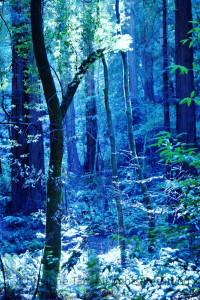 trees – forest –  Muir Woods Tree Ghost – Marin, CA, USA