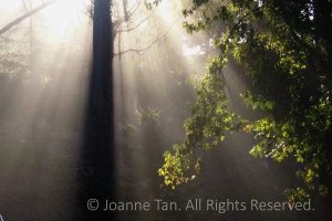 trees – forest – Showered in Light -Northern California